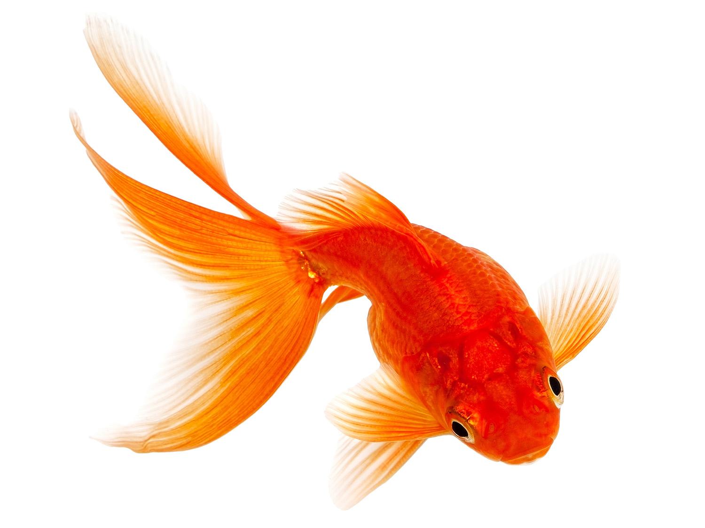 animalerie-toutou-poisson-rouge